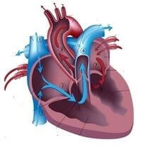 parts of the cardiovascular system